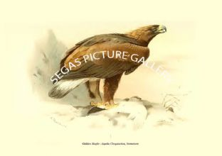 Golden Eagle - Aquila Chrysaetus, Immature